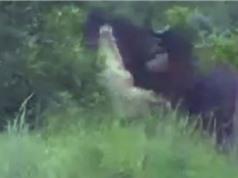 Clip: Cá sấu khổng lồ bị trâu rừng húc văng lên trời