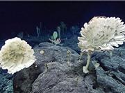 Phát hiện rừng bọt biển ở độ sâu 2.000 m dưới đáy biển