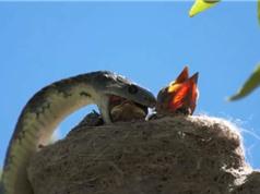 Clip: Rắn hổ mang giết sạch bầy chim non