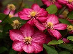Hoa ông lão - loài hoa có vẻ đẹp đối lập với cái tên