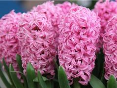 Ngắm vẻ đẹp rực rỡ của loài hoa tiên ông