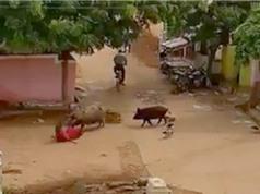 Lợn nổi điên tấn công bà lão