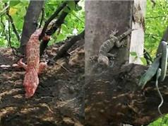 Tắc kè hoa đả thương rắn độc cứu sống đồng loại