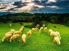 Ba Lan thuê 250 con cừu làm thợ cắt cỏ bờ sông