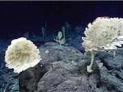 'Khu rừng' bọt biển ở độ sâu 2.000 m dưới đáy biển Mỹ