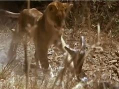 Clip: Màn so tài kịch tính giữa sư tử con với trăn