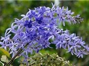 Vẻ đẹp rực rỡ của loài hoa mai độc nhất vô nhị trên thế giới