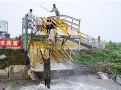 Xây cầu tạm để dạy lợn tập luyện môn... nhảy cầu