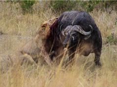 Clip: Sư tử đực bị trâu rừng húc lật ngửa bụng