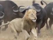 Clip: Những pha phản đòn dũng mãnh của trâu rừng khiến sư tử bỏ chạy
