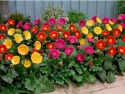 Tự trồng hoa đồng tiền tại nhà cho tiền vào như nước, thanh lọc không khí