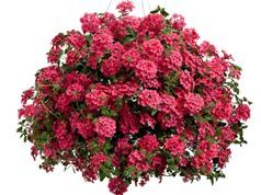 Mã tiên thảo - loài hoa đẹp trị được bệnh cổ trướng