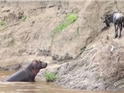 Clip: Linh dương đầu bò suýt chết vì bị hà mã nghi oan