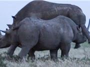 Tê giác đực đánh ghen, giành giao phối
