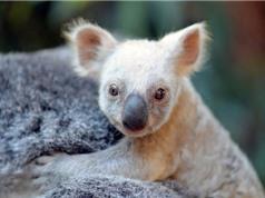 Gấu koala trắng cực hiếm ở Australia