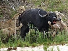 Clip: Trâu rừng dũng mãnh húc thủng ngực sư tử
