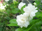 Kỹ thuật trồng hoa nhài vừa trang trí nhà cửa vừa làm thuốc
