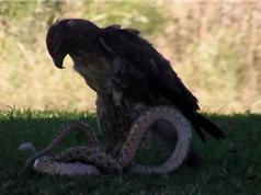 CLIP ĐỘNG VẬT ĐẠI CHIẾN ẤN TƯỢNG NHẤT TUẦN: Trâu rừng húc văng cá sấu, đại bàng ác chiến rắn độc