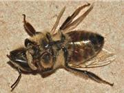 Những sự thật ít biết về loài ong thây ma có độc