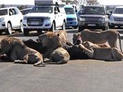 Clip: Sư tử xé xác trâu rừng giữa đường khiến giao thông ách tắc
