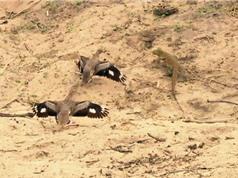 Clip: Chim dikkop hợp sức chiến đấu với thằn lằn