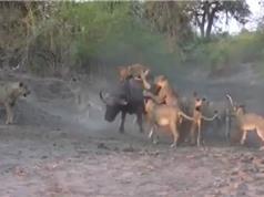 Clip: 12 con sư tử vây bắt trâu rừng