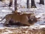 Clip: Những pha săn mồi dũng mãnh của loài hổ