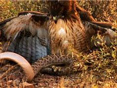 Clip: Rắn đuôi chuông chết thảm khi chưa kịp ăn bữa cuối cùng
