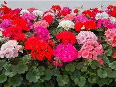 Hướng dẫn cách trồng phong lữ thảo - loài hoa tốt theo phong thủy