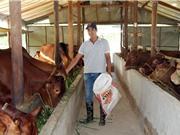 Đang làm phiên dịch lương 20 triệu/tháng, về quê nuôi bò lãi trăm triệu