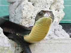 Nhân giống bảo tồn rắn hổ mang ở trại rắn Đồng Tâm