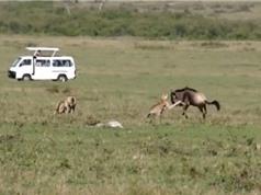 Clip: Linh dương đầu bò tả xung hữu đột giữa 3 con báo săn