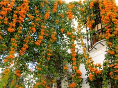 Cách trồng hoa chùm ớt cầu may mắn, thành công