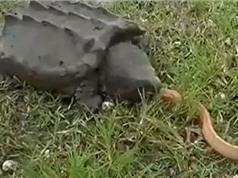 Clip: Rắn hổ mang tự hiến mạng cho rùa cá sấu