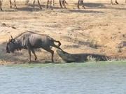 Clip: Hà mã cứu linh dương đầu bò thoát khỏi hàm cá sấu
