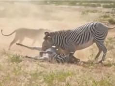 Clip: Con bị bắt, ngựa vằn mẹ liều chết với sư tử