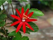 Dây sao đỏ - loài hoa được ưa chuộng trồng ở ban công, hàng rào
