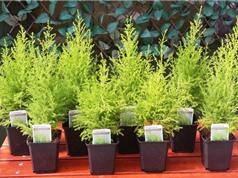 Cách trồng tùng thơm đuổi muỗi, giảm stress, đau đầu
