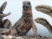 Clip: Bị hàng chục rắn độc truy sát, cự đà vẫn thoát chết ngoạn mục