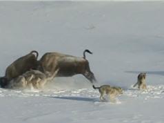 Clip: Bò xạ hương ngốc nghếch vô tình tiếp tay để sói giết con