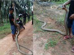 Clip: Tận mục màn bắt sống rắn hổ mang cực lớn