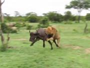 Clip: 5 pha săn trâu rừng tuyệt đỉnh của sư tử