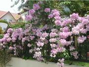 Cách trồng hoa tỏi để trang trí hàng rào và làm thuốc quý