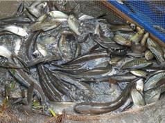 Clip: Cận cảnh màn tát đìa bắt cá đồng của người Cà Mau