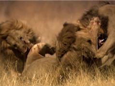 Clip: Đại chiến truất ngôi vương kinh hoàng của loài sư tử