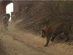 Clip: Hổ dữ ngang nhiên bắt trộm bò trước mặt nhiều người