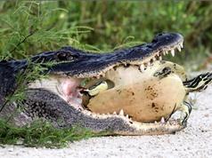 Clip: Rùa thoát chết khó tin trước hàm cá sấu