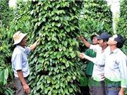 Đắk Nông mở rộng diện tích liên kết sản xuất hồ tiêu bền vững
