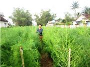 Hải Dương: Trồng cây măng tây xanh mang lại hiệu quả cao