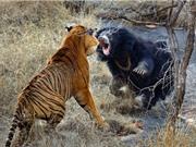 CLIP ĐỘNG VẬT ĐẠI CHIẾN ẤN TƯỢNG NHẤT TUẦN: Ngựa vằn tấn công sư tử, gấu đen ác chiến với hổ